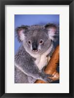 Framed Baby Koala Holding Branch