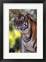 Framed Gorgeous Tiger Close Up