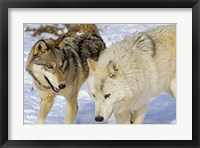 Framed Close Up of Two Wolves in the Snow