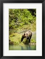 Framed Brown Bear near Lake