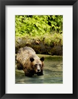 Framed Brown Bear in Lake