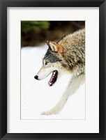 Framed Close up of Wolf in Snow