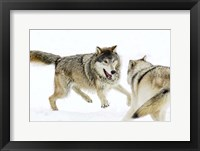 Framed Wolves Fighting in Snow