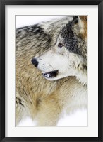 Framed Close Up of Brown and Black Wolf