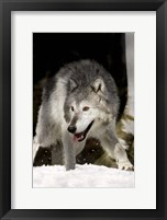 Framed Wolf Hunting in Winter