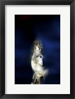 Framed Wolf against a Blue Background