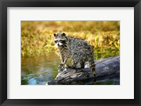 Framed Soaking Wet Critter Coming out of Lake