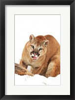 Framed Yellow Bobcat with Open Mouth