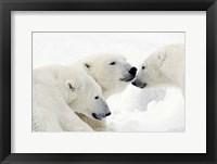 Framed Three Polar Bears Nuzzling Noses