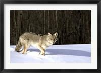 Framed Wolf Running through Deep Snow