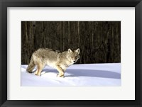 Framed Wolf Running through Deep Snow
