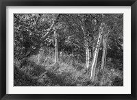 Sunlit Birches II Framed Print