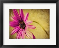 Framed Fuchsia Daisy III