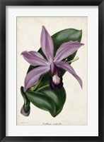 Framed Plum Orchid
