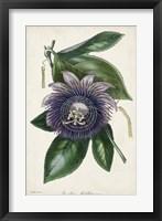Framed Plum Passion Flower