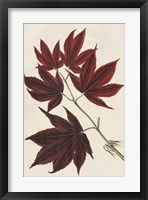 Framed Japanese Maple Leaves III
