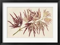 Framed Japanese Maple Leaves V
