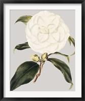 Framed Camellia Japonica I