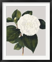 Framed Camellia Japonica II
