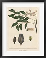 Framed Mahogany Tree