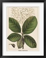 Framed Large Leaved Cotinus