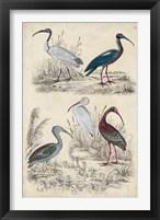 Framed Ibis Family