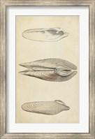 Framed Marine Mollusk I