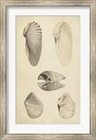 Framed Marine Mollusk III