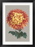 Framed Chrysanthemum on Gray I