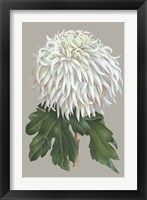 Framed Chrysanthemum on Gray II