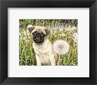 Framed Pug with Dandelion