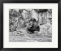 Framed Lion II
