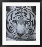 Framed White Tiger Jackson Hole