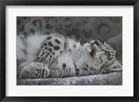 Framed Snow Leopard Reclining