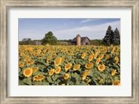Framed Sunflowers & Barn, Owosso, MI 10