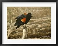 Framed Red Winged Blackbird