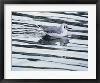 Framed Bonaparteis Gull