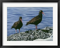 Framed Oyster Catchers