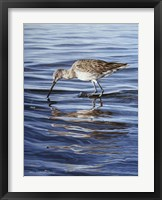 Framed Willet