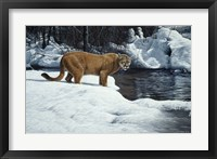 Framed Waters Edge - Cougar
