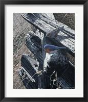 Framed Bluebirds On Rail Fence