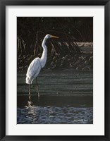 Framed Great Egret