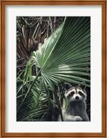 Framed Everglades Raccoon