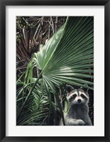 Framed Everglades Raccoon