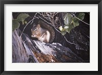 Framed Red Squirrel In Salac