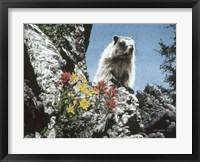 Framed Young Marmot
