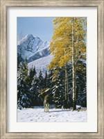 Framed Trembling Aspen