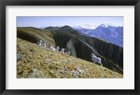 Framed Dall Sheep
