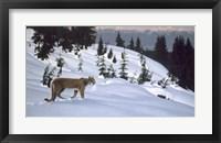 Framed Cougar In Snow