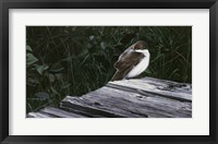 Framed Tree Swallow